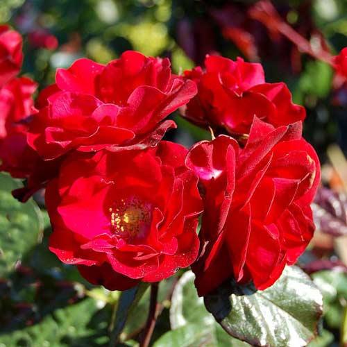Ruža floribunda Europana