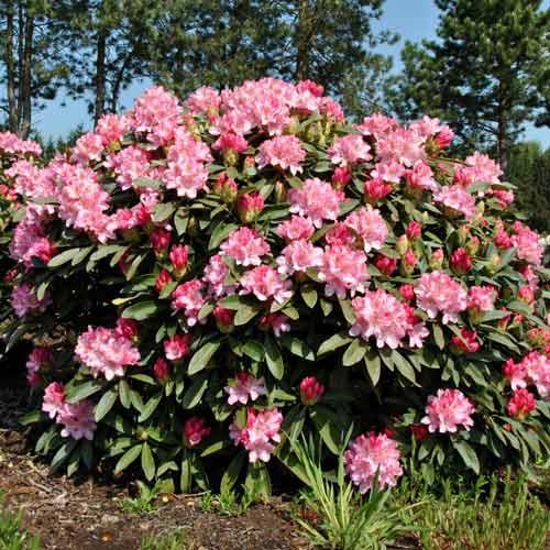 Rododendron Fantasy