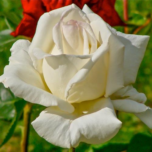 Ruža veľkokvetá Mount Shasta изображение 1 артикул 2291