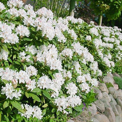 Rododendron Cunningham`s White изображение 1 артикул 9088