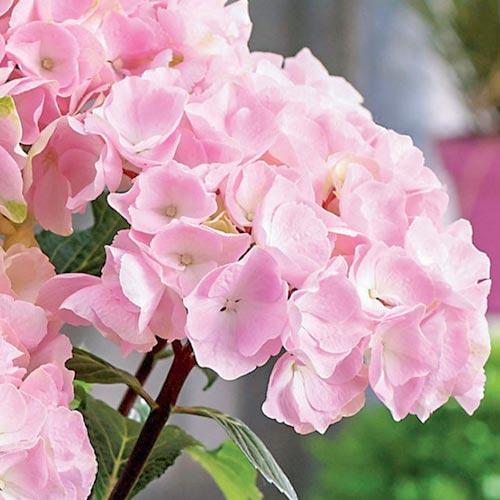Hortenzia veľkolistá Pink изображение 2 артикул 9174