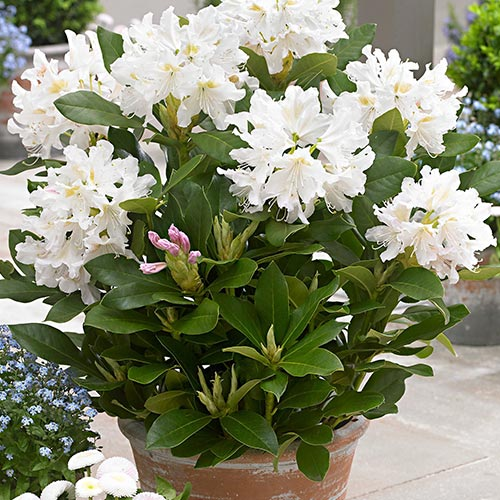 Rododendron Cunningham`s White изображение 2 артикул 9088