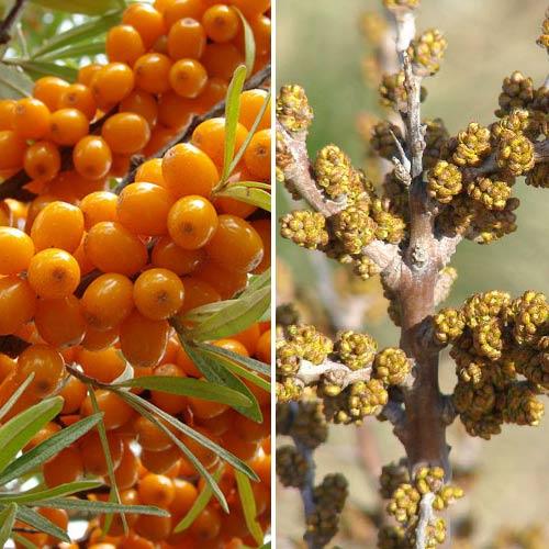 Rakytník rešetliakový Oranžová sila: samec (1) + samice (1) изображение 1 артикул 9253