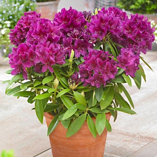 Rododendron Gartendirektor Rieger изображение 1 артикул 9155
