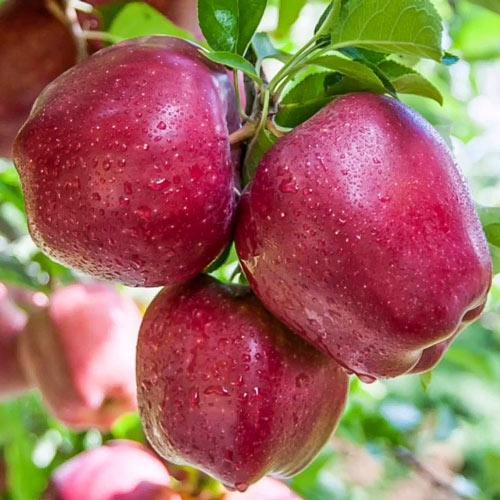 Jablko Red Shar