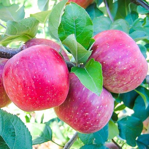 Jablko Fuji