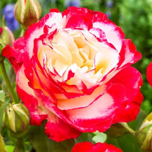 Ruža veľkokvetá Double Delight