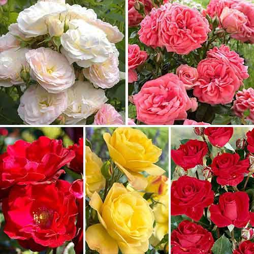 Super ponuka! Sada zmiešaných farebných kytíc ruží, 5 sadeníc изображение 1 артикул 3689