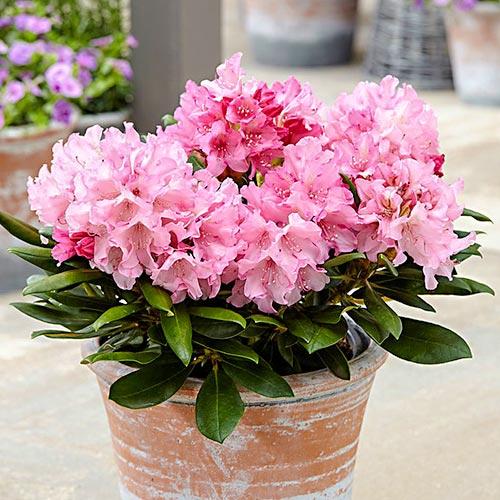 Rododendron Hania изображение 1 артикул 9092