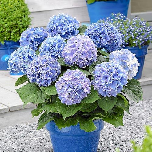 Hortenzia veľkolistá Blue изображение 1 артикул 9175