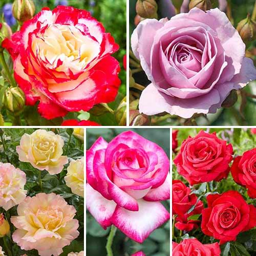 Super ponuka! Sada veľkokvetých ruží Perfume, 5 sadeníc изображение 1 артикул 3692