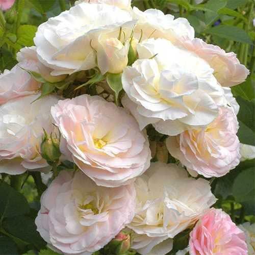Ruža floribunda Part Flight