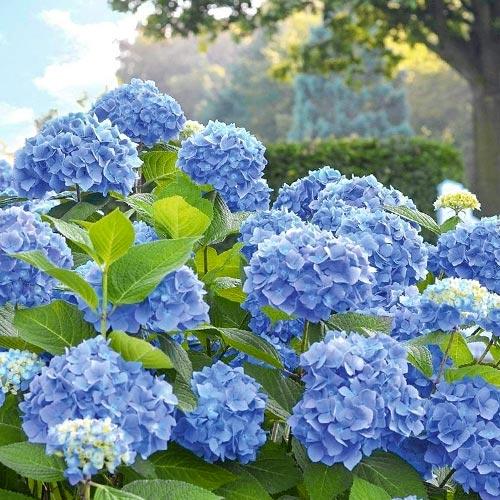 Hortenzia veľkolistá Blue Bodensee изображение 1 артикул 9028