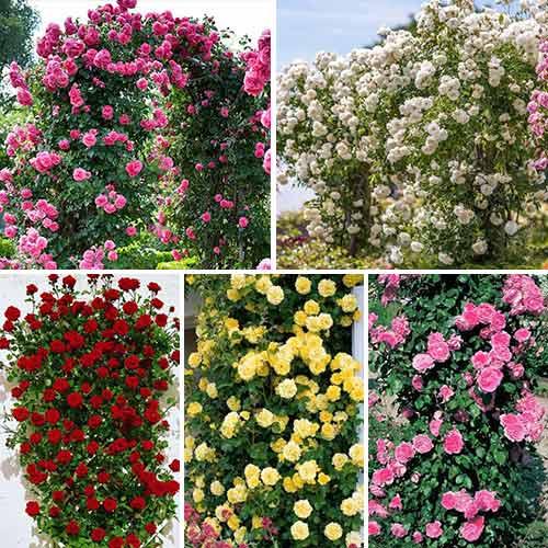 Super ponuka! Sada popínavých ruží Top Garden, 5 sadeníc изображение 1 артикул 3697
