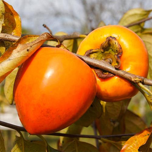 Ebenovník rajčiakový Jiro изображение 1 артикул 7039