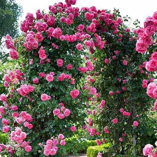 Ruža lezecká Indigoletta