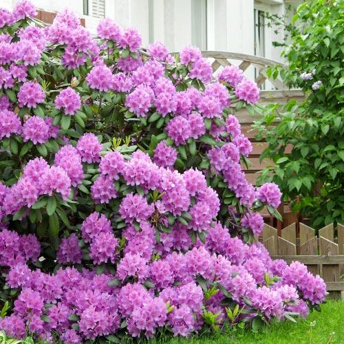 Rododendron Roseum Elegans