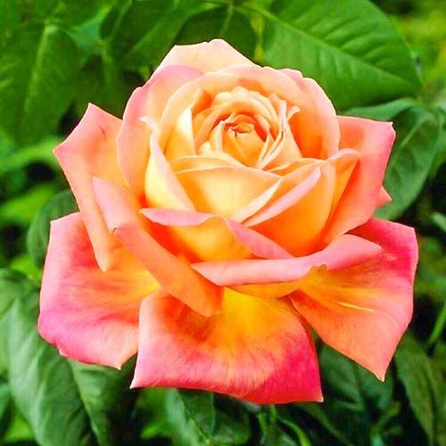 Ruža veľkokvetá Orange & Pink изображение 1 артикул 3687