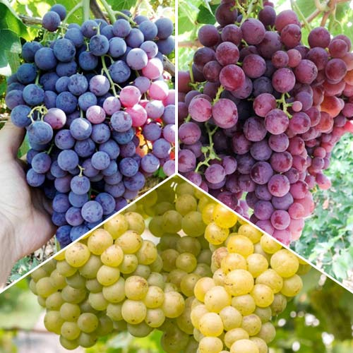 Super ponuka! Súbor viniča bez semien, 3 sadenice изображение 1 артикул 7345