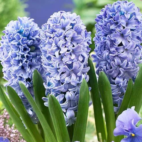 Hyacint Blue Eyes изображение 1 артикул 67356