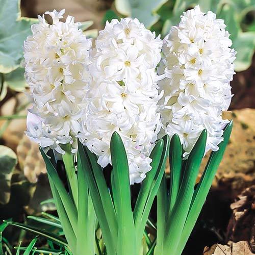 Hyacint Madame Sophie изображение 1 артикул 67362