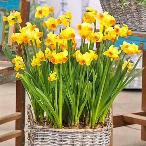 Narcis Grand Soleil d'Or изображение 1 артикул 67645