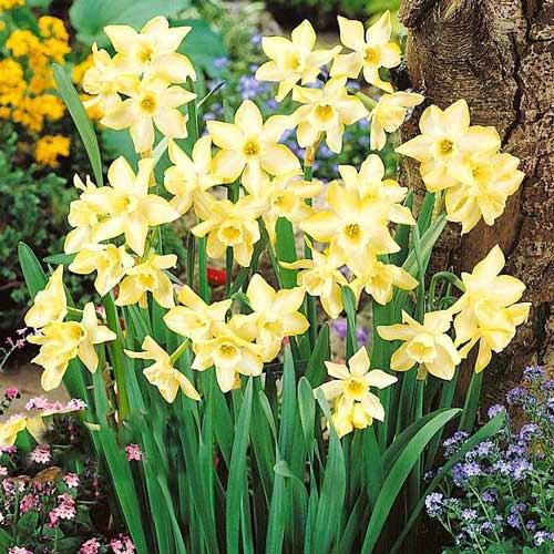 Narcis Pipit изображение 1 артикул 67656