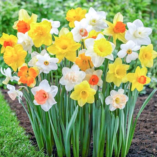 Narcis s veľkou korunou, mix изображение 1 артикул 67649
