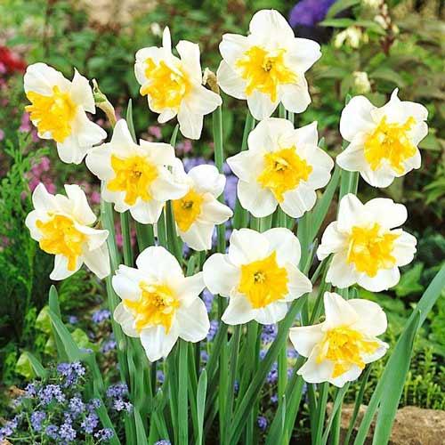 Narcis Sunset Serenade изображение 1 артикул 68072