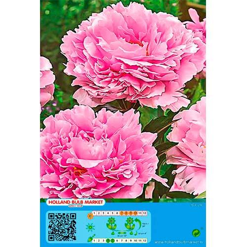 Pivonka Pink