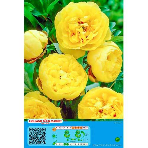 Pivonka Yellow изображение 1 артикул 76488