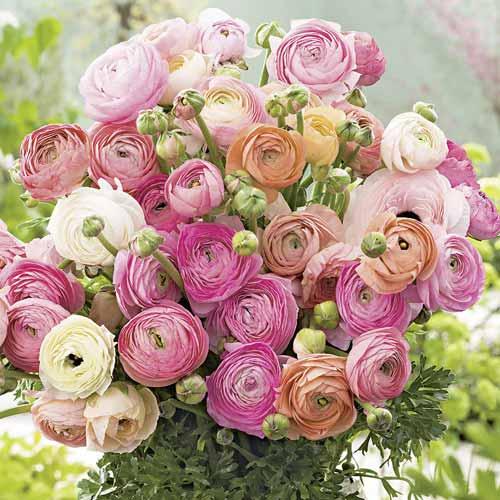 Ranunculus (masliak) Pastel, mix изображение 1 артикул 68123