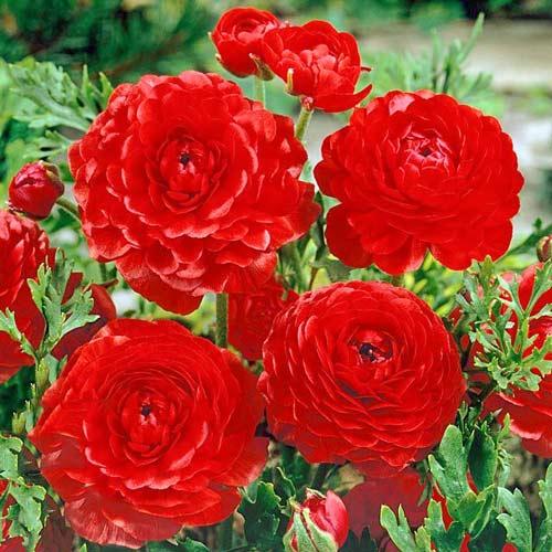 Ranunculus (masliak) Red изображение 1 артикул 67278