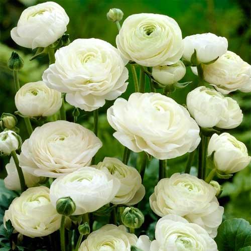 Ranunculus (masliak) White изображение 1 артикул 67279