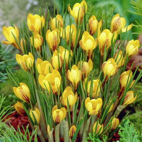 Šafran Golden Yellow изображение 1 артикул 67616