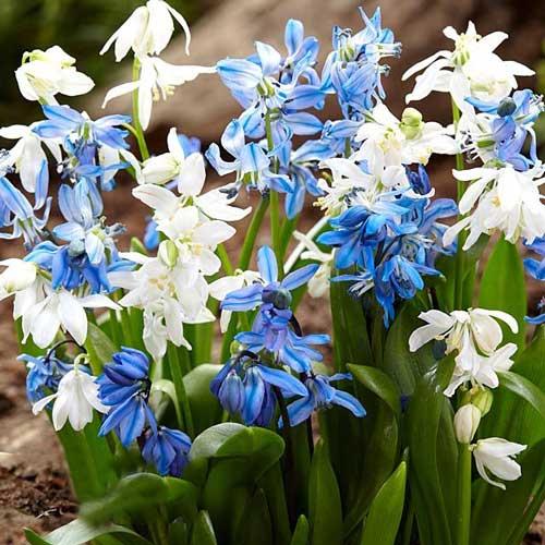 Scila Spring Beauty изображение 1 артикул 67676
