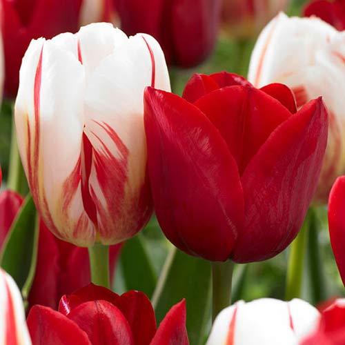 Super košík! Sada tulipánov Holandský zázrak, mix изображение 1 артикул 67823
