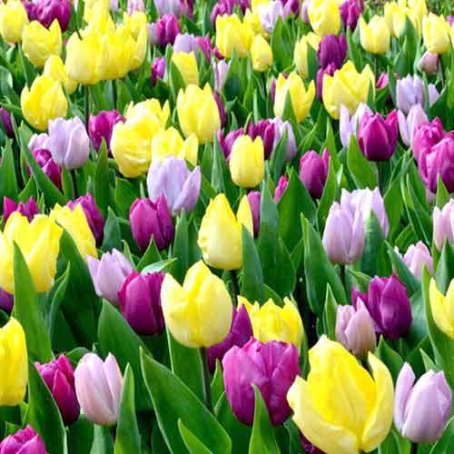 Super košík! Sada tulipánov Princ, mix изображение 1 артикул 67803