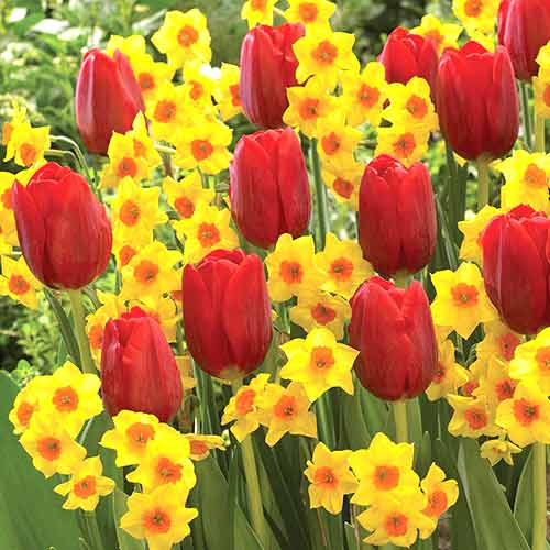 Super košík! Sada tulipánov Slnečné údolie, mix изображение 1 артикул 67816