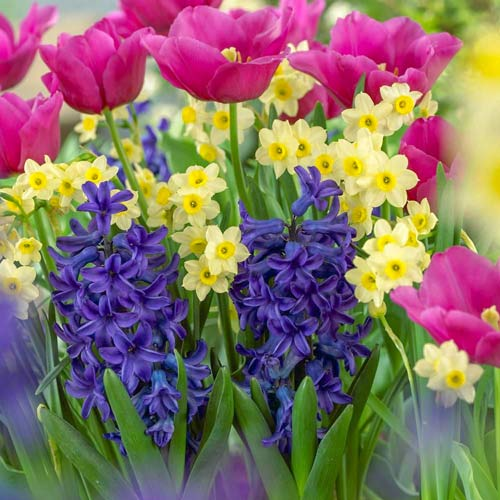 Super ponuka! Sada narcisov, tulipánov, hyacintov z 20 cibuliek изображение 1 артикул 67905
