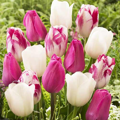 Super ponuka! Sada tulipánov Ranné svitanie изображение 1 артикул 67560