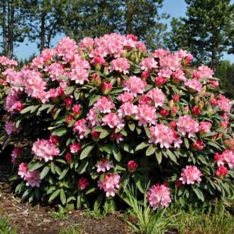 Rododendron Fantasy изображение 6