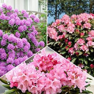 Super ponuka! Sada rododendronov - 3 sadenice изображение 1