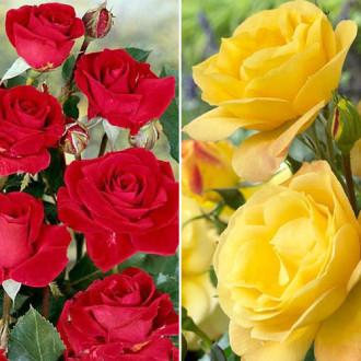 Ruža floribunda Pink & White изображение 8