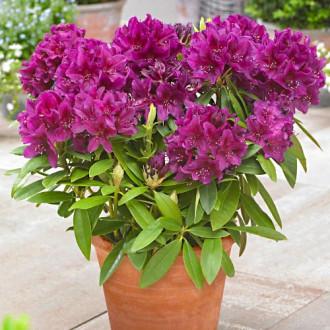Rododendron Gartendirektor Rieger изображение 2