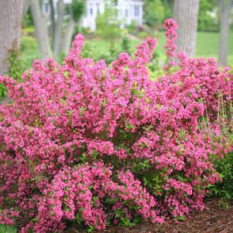 Vajgela Bouquet Rose изображение 2