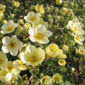 Nátržník krovitý Primrose Beauty изображение 1