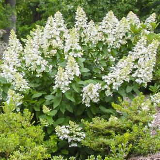 Hortenzia metlinatá Grandiflora изображение 8