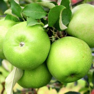 Jablko Gala Lord изображение 2