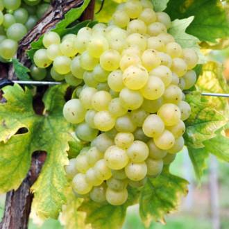 Hrozno Sauvignon Blanc изображение 4